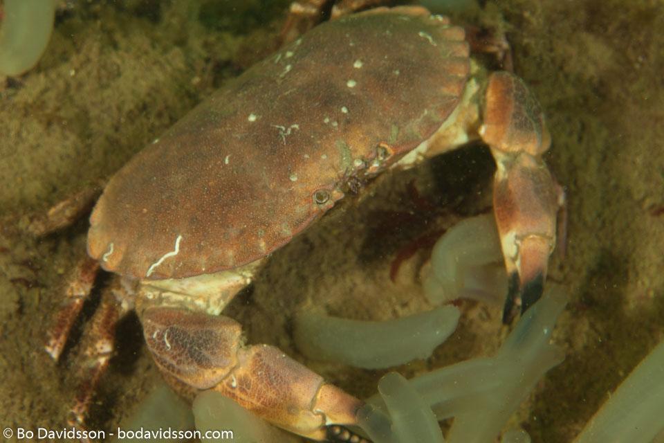 BD-110416-Lysekil-50-Cancer-pagurus.-Linnaeus.-1758-[Edible-crab.-Krabbtaska].jpg